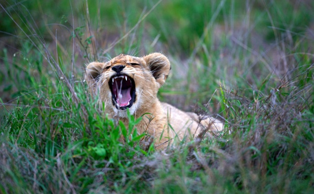 A tired lion cub yawns in the grass