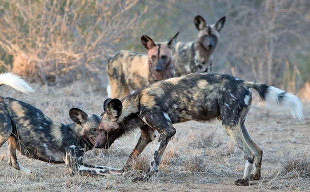 An African wild dog family greeting each other